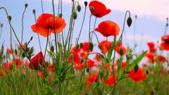 Red poppies and other steppe vegetation Stock Footage
