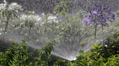 Agapanthus Flowerbed Irrigation Spray B Stock Footage
