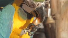 Macaws eat tomato Stock Footage