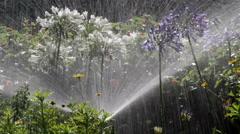 Agapanthus Flowerbed Irrigation Spray C Stock Footage