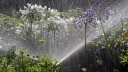 Stock Video Footage of Agapanthus Flowerbed Irrigation Spray C