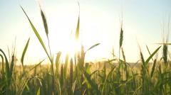 Ear of wheat in the men hands farmer. Stock Footage