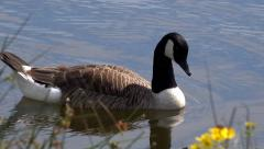 Wildlife Canada Goose swimming on lake Stock Footage