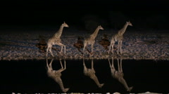 Giraffes in waterhole Stock Footage