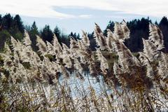 Reed by Lake - stock photo