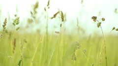 Green grass on the field full HD with motorized slider. 1080p. Stock Footage