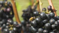 Honey Bee on Bunch of Grapes - stock footage