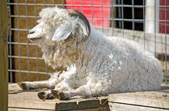 Ram sheep Stock Photos