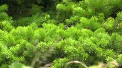 Dog Mountain pine tree Stock Footage