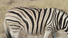 Burchell's zebra - stock footage