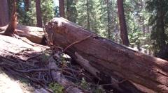 Redwood Log - wide shot Stock Footage