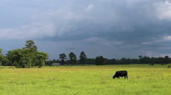 Black cow in a field before a storm Stock Footage