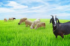 Stock Illustration of sheep and goats graze on meadow