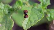Stock Video Footage of Colorado potato beetle eat potatoes