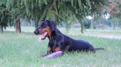Doberman dog in park with toy Stock Footage