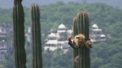 Rack focus of woodpecker on cactus with resort in background Stock Footage