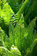 Green wild fern leaves grown in a shady woodland Stock Photos