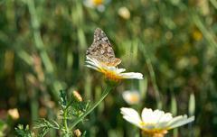 butterfly on daisy flower - stock photo