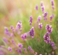 Lavender flowers close-up - stock photo