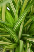 green shrub leaves background - stock photo
