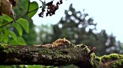 Eurasian nuthatch - Sitta europaea Stock Footage