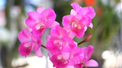 Cattleya pink orchid Stock Footage