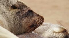Fur seal close up Stock Footage