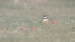 Little Bustard (Tetrax tetrax) displaying in wild flower field Stock Footage