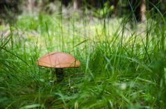 birch bolete mushroom in lush green grass - stock photo