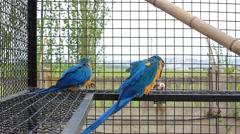 Blue-and-yellow Macaw (Ara ararauna) Stock Footage