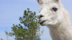 Feeding white lama Stock Footage