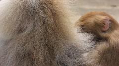 Hamadryas baboon (Papio hamadryas) Stock Footage