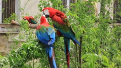 Ara chloropterus (red-and-green macaw) Stock Footage