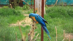 Blue-and-yellow Macaw (Ara ararauna) Stock Footage