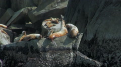 fighting seals on the rock - Kenai Fjords, Alaska - stock footage