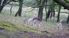 Fallow deer - stock footage