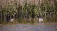 Goose family Stock Footage