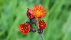 Orange Hawkweed - British Wildflower Stock Footage