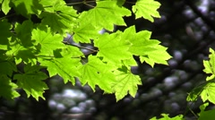 Columbia Gorge, Dog Mountain Leaf Stock Footage