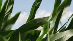 1863 Corn Field Blowing in the Wind, HD Stock Footage