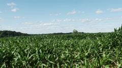 1865 Corn Field Blowing in the Wind, HD Stock Footage