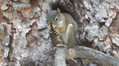 American red squirrel eating, Pine, Colorado Stock Footage