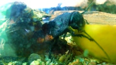 Cockroach Eating Close Up Stock Footage