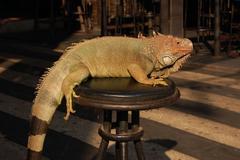 Green iguana abused for entertainment Stock Photos