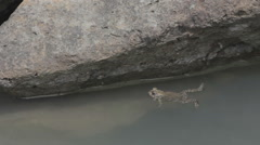 Toads swimming 3 Stock Footage