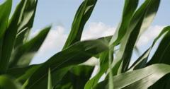 1863 Corn Field Blowing in the Wind, 4K Stock Footage