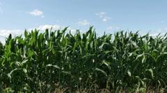 1864 Corn Field Blowing in the Wind, HD Stock Footage