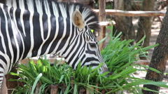 Zebra Eating Grass Stock Footage