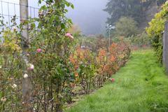 Rose garden on rainy gloomy day Stock Photos
