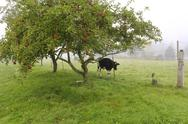 Stock Photo of cow in gloomy rainy garden